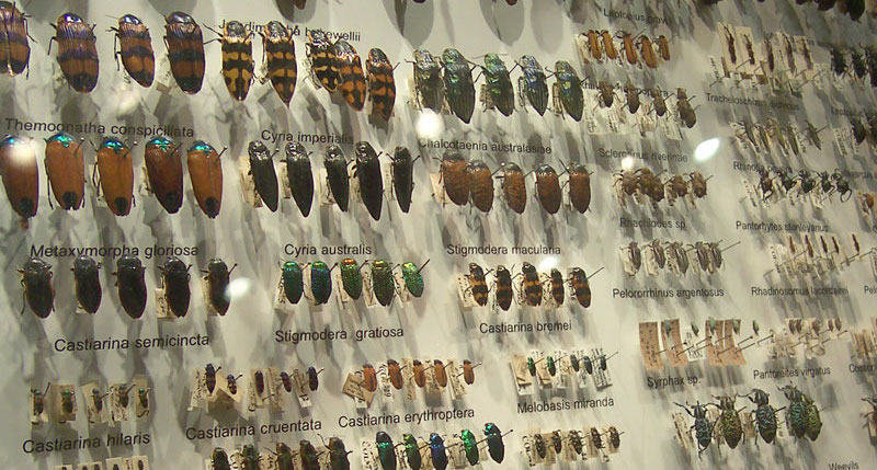 Staged and Classified Beetle Collection, (Credit: Fir0002, Wikipedia)